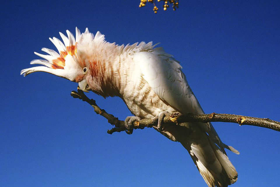 Pink cockatoo, Cacatua leadbeateri, with raised crest, Northern Territory, Australia