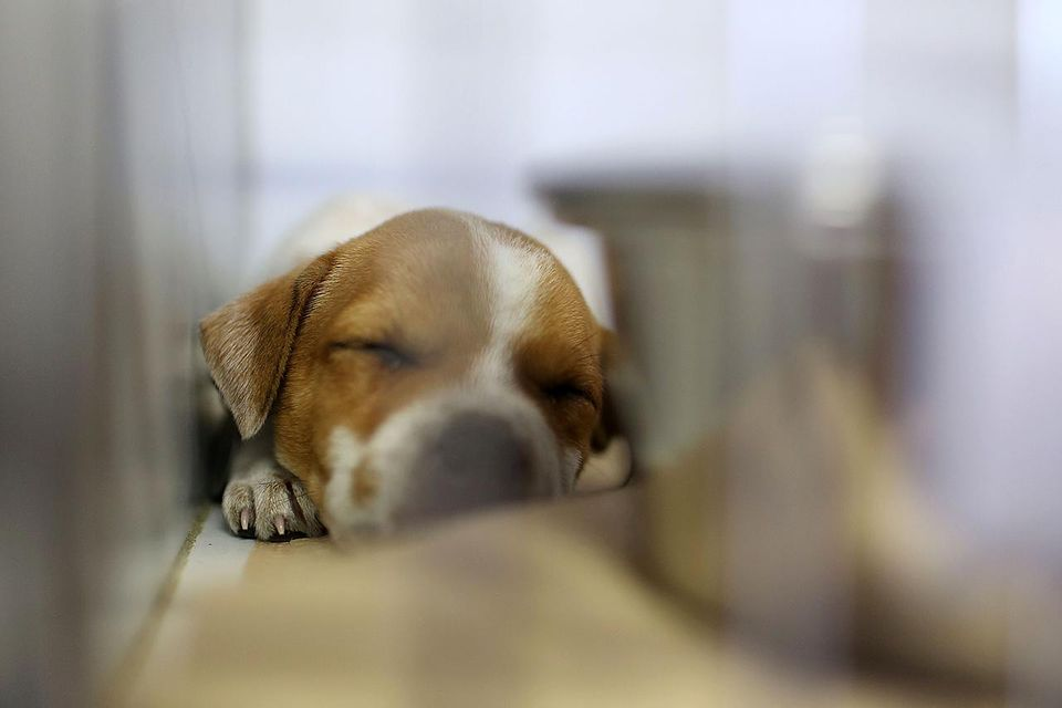 NEW YORK, NY - MAY 10: A young puppy up for adoption sleeps in his cage during the North Shore Animal League America Mobile Adoption Initiative Launch at Times Square