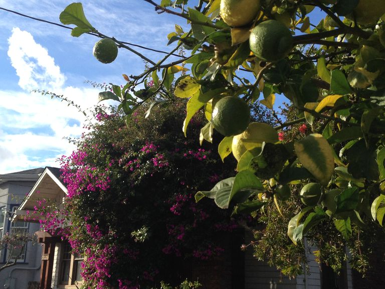 Meyer lemon tree in California in winter