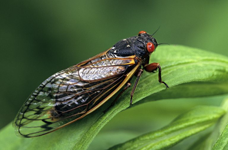 Periodical cicada.