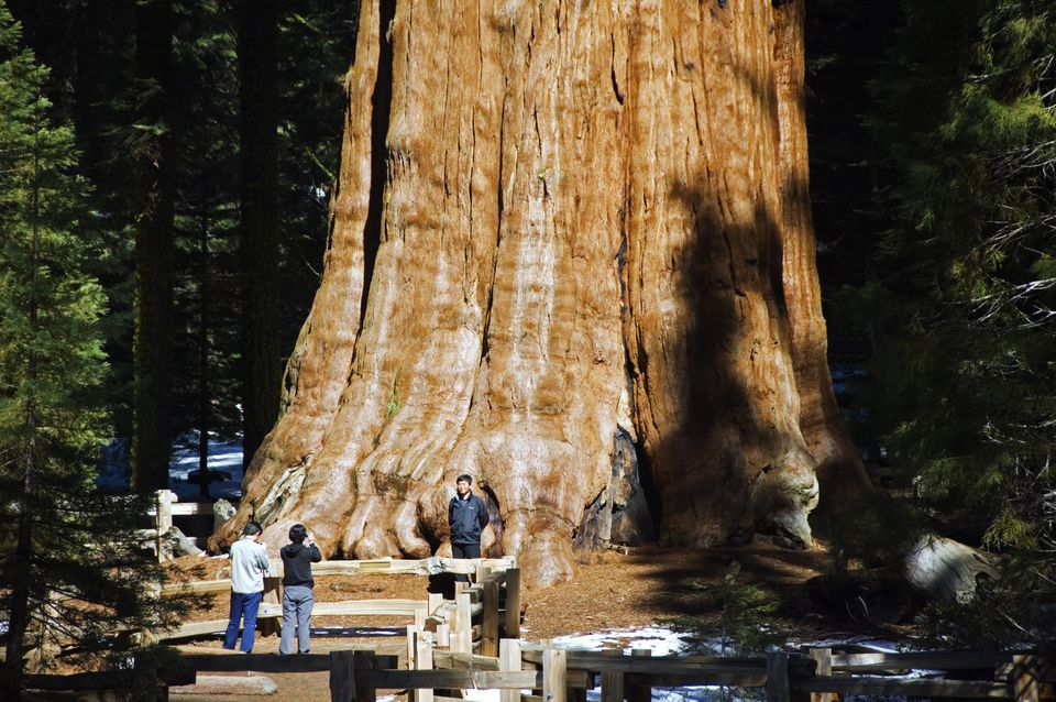 USA, California, Sequoia National Park. Tourists are dwarfed by the General Sherman Sequoia Tree - largest in the world by volume.