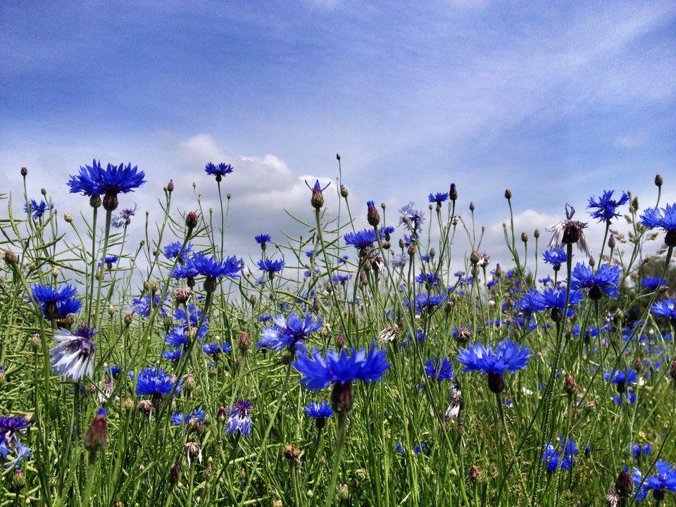 Bachelor's Buttons, Cornflower (Centaurea cyanus)