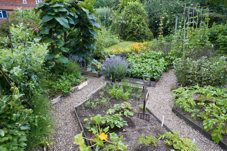 Kitchen garden with gravel pathways and raised beds including zucchini (Courgette), potatoes (Solanum tuberosum) 'Charlotte' and broad beans (Vica faba) 'Imperial Green Winter'
