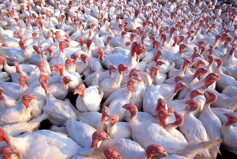 Crowd of white turkeys on a farm.