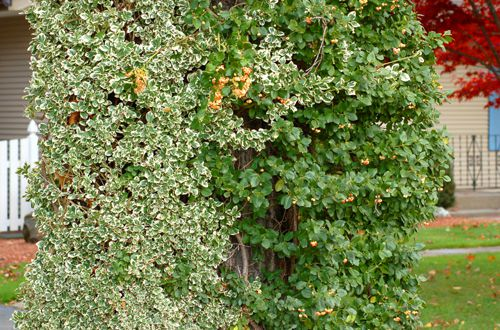 Picture of climbing euonymus.