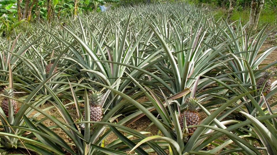 growing pineapple plants. Black Bedroom Furniture Sets. Home Design Ideas
