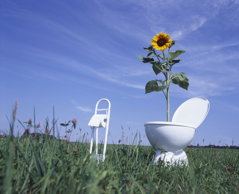 sunflower growing out of toilet outdoors
