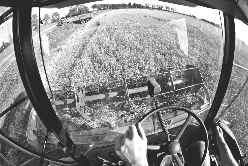 Wheat harvest seen from inside combine