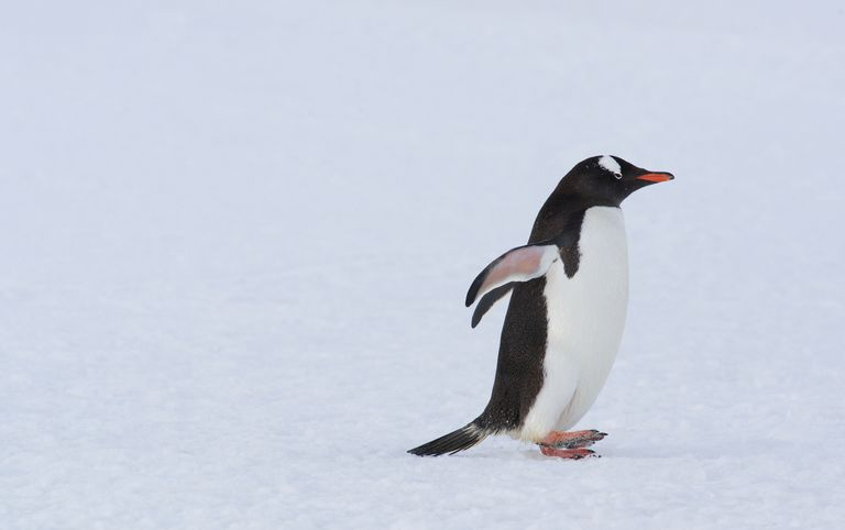 Gentoo penguin walking.