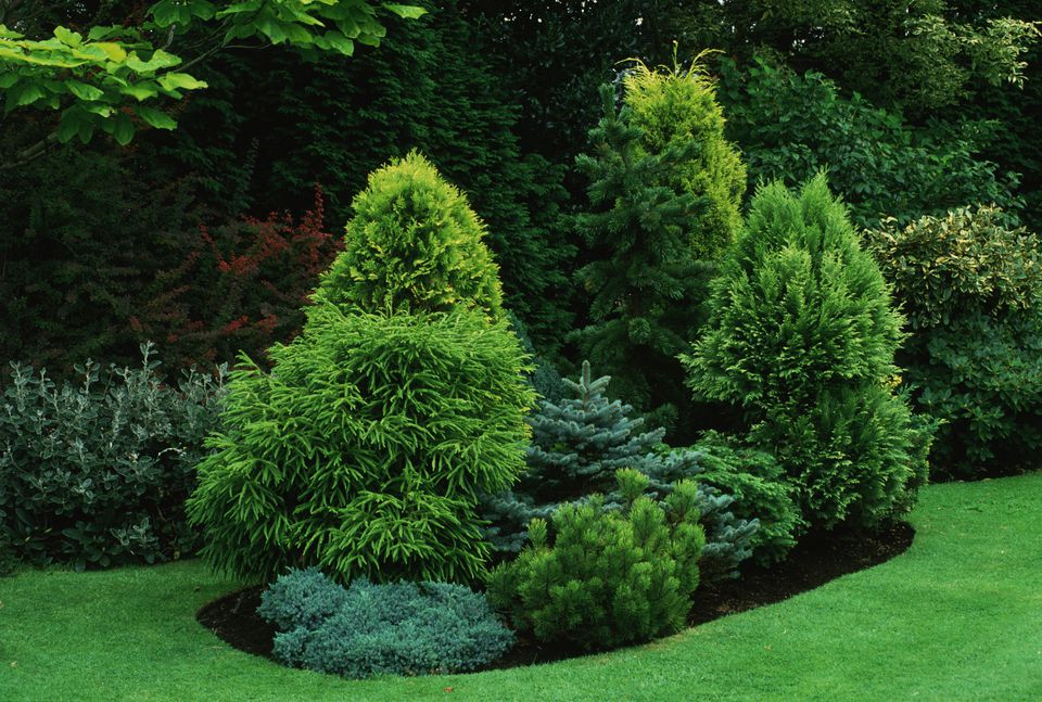 Conifer Trees in Lawn