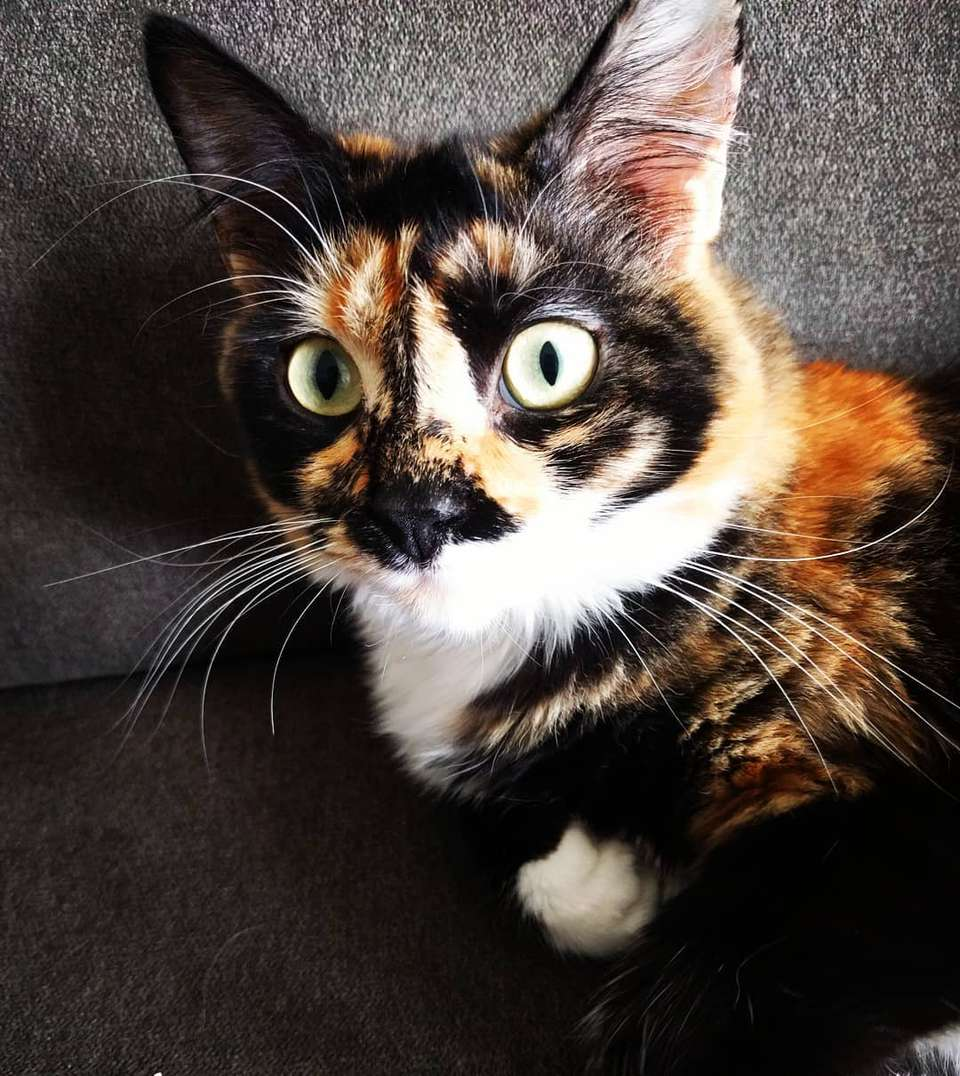 7 pictures of pretty tortoiseshell cats and kittens - Images of tortoiseshell cats ...