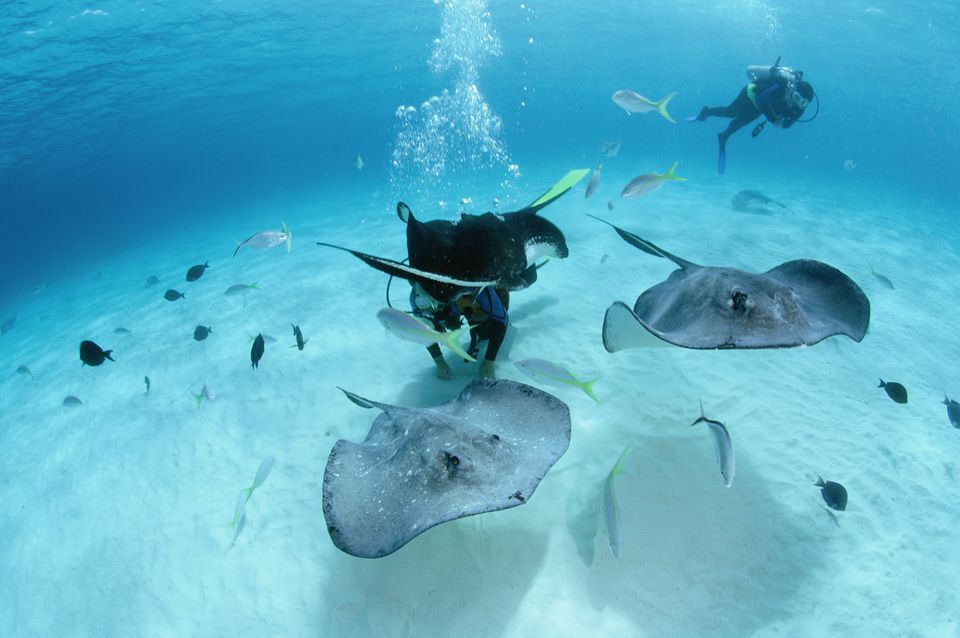 Divers Swimming with Stingrays at Grand Cayman
