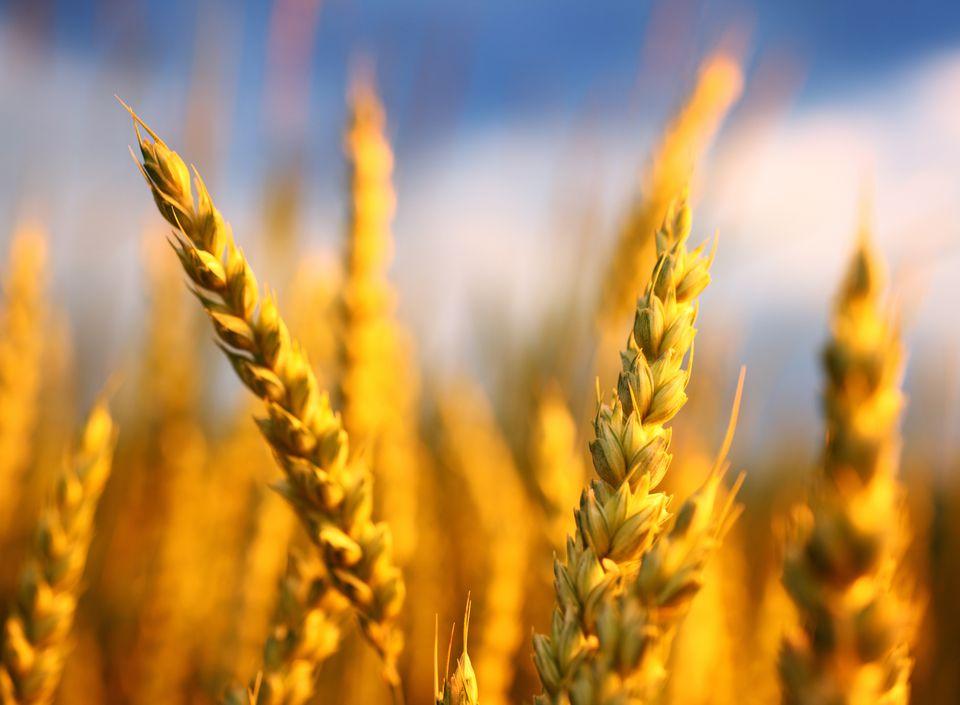 Wheat in a field,closeup.