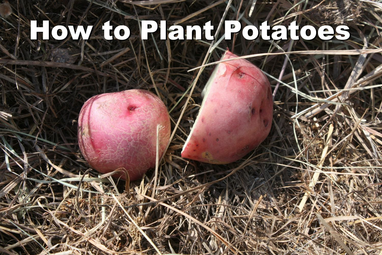 How to Grow Organic Potatoes in Your Home Garden