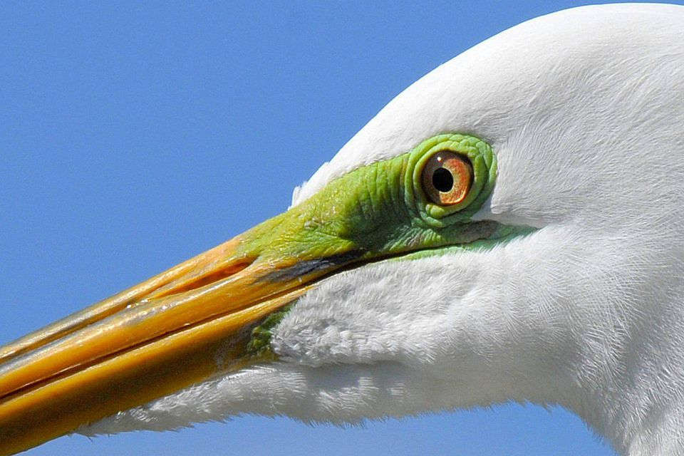 Great Egret Portrait With Breeding Lores