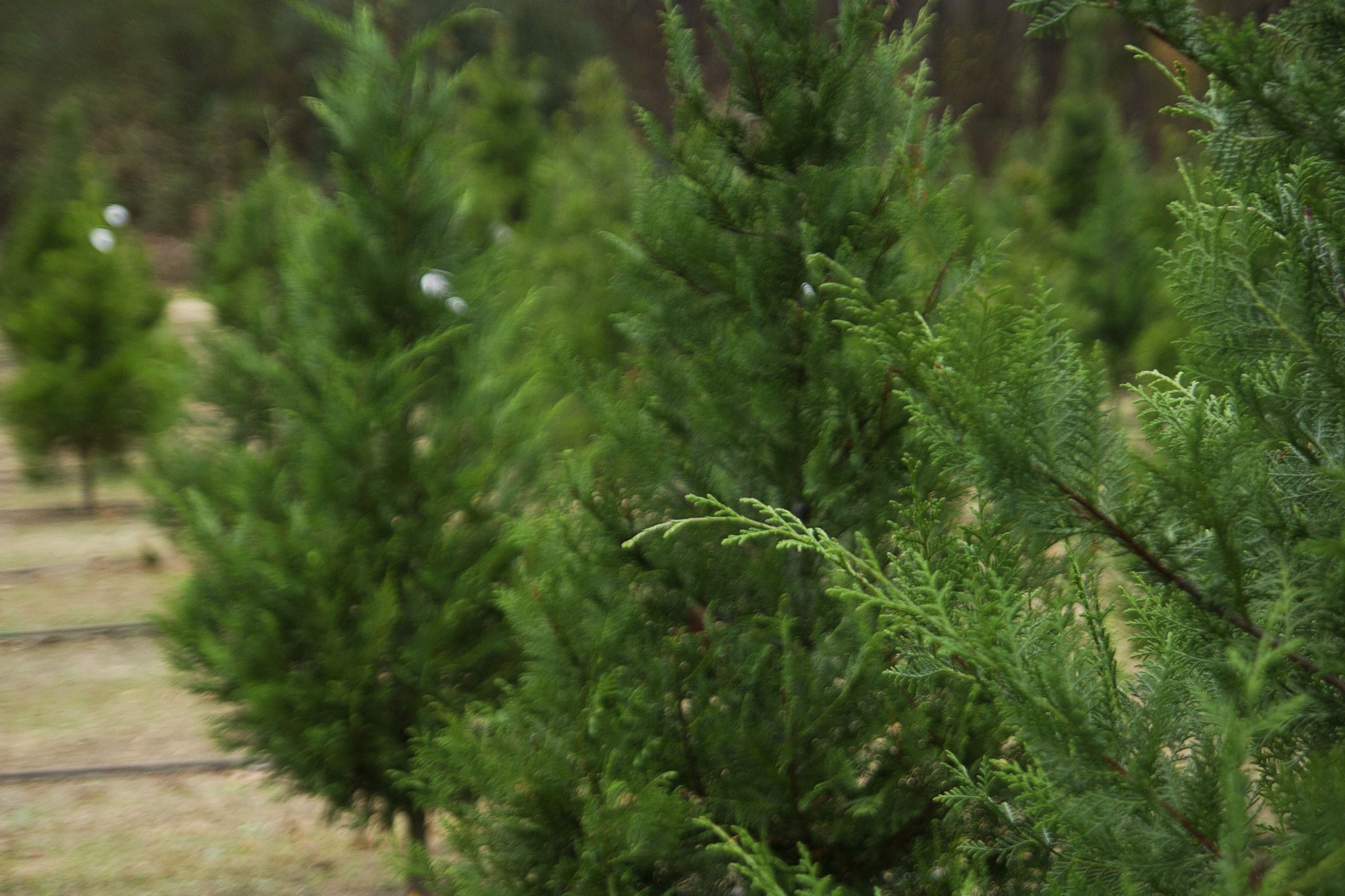 christmas tree farms in western washington by county - Christmas Tree Farms