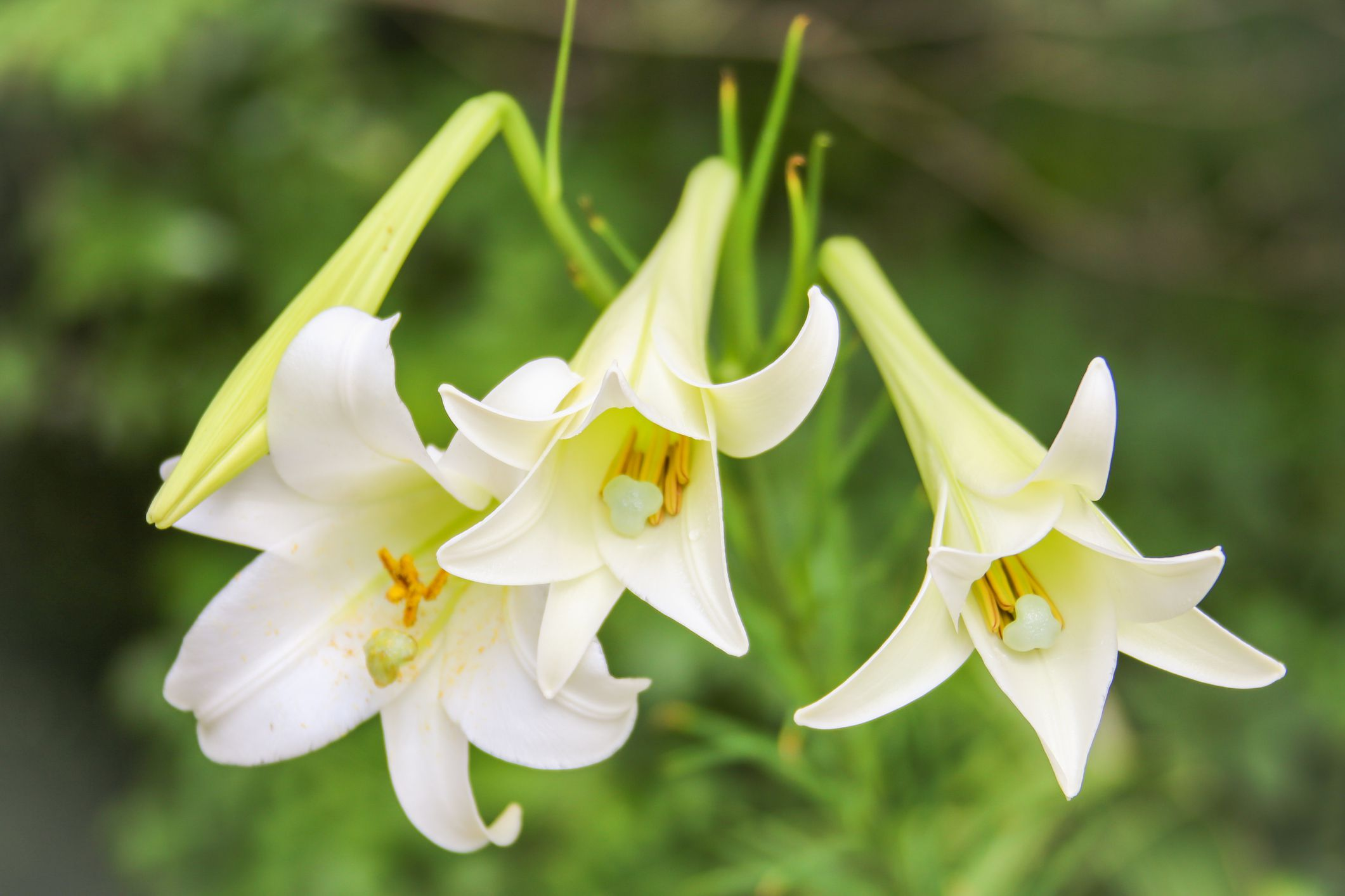 Easter lilies selection care and re blooming izmirmasajfo Choice Image