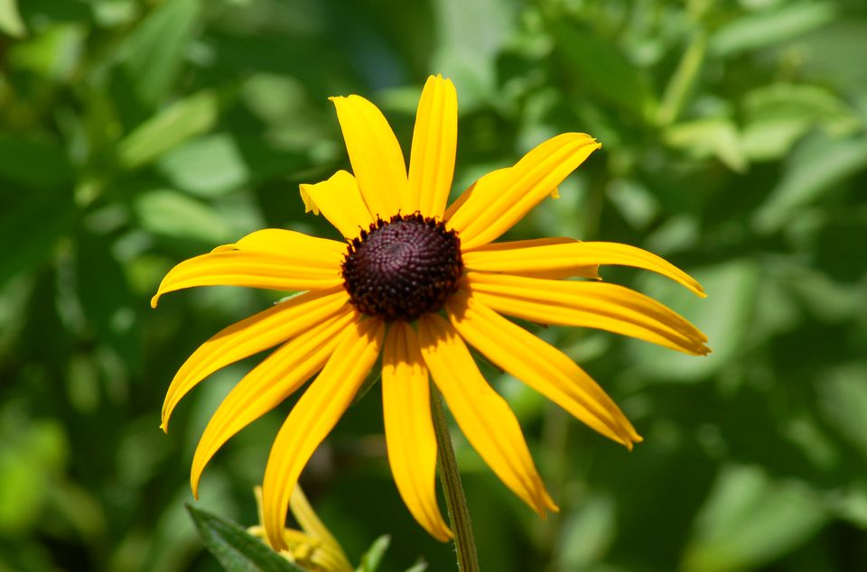 Black-eyed susan flower (image) is known for its cheer. It is a drought-tolerant perennial.