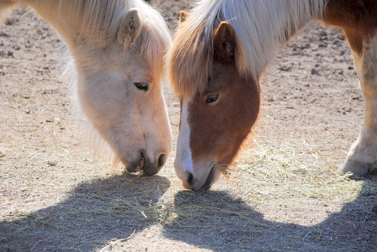 norwegian horses