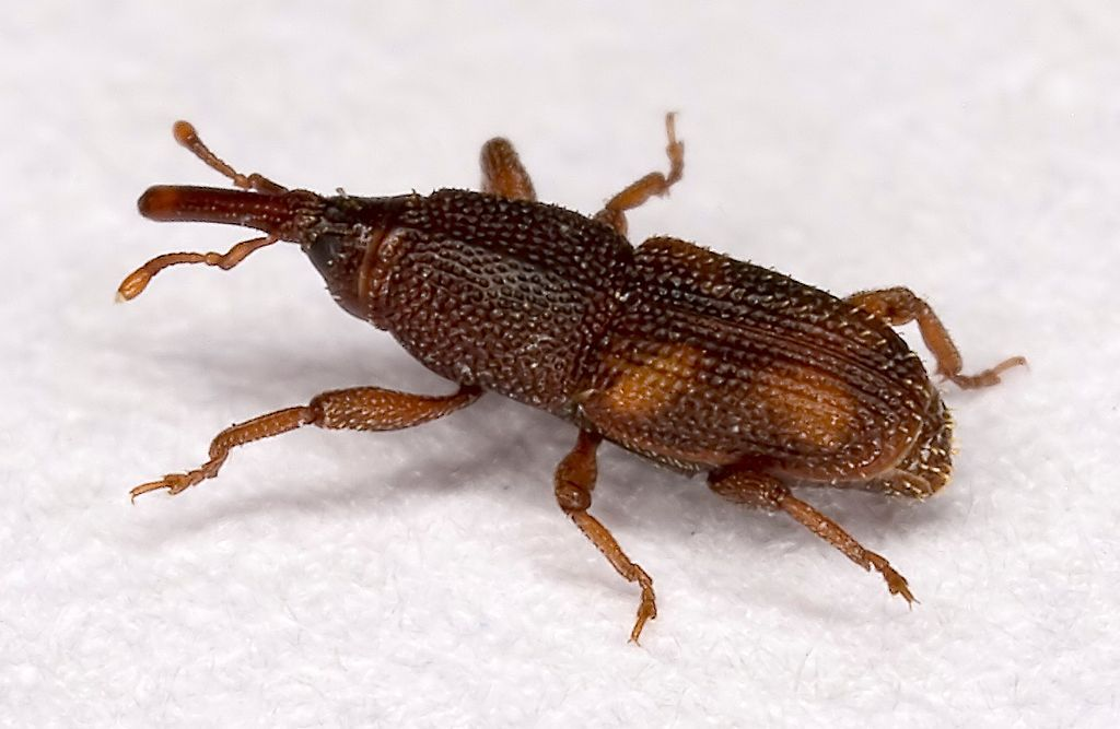 What Is a Weevil and How Did that Bug Get in My Food. Identify 8 Insects That Eat Holes in Clothes
