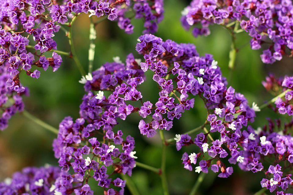 Lovely Purple Statice