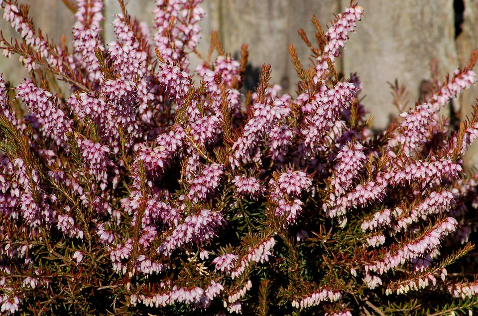 My picture shows how gorgeous heather is when in flower.