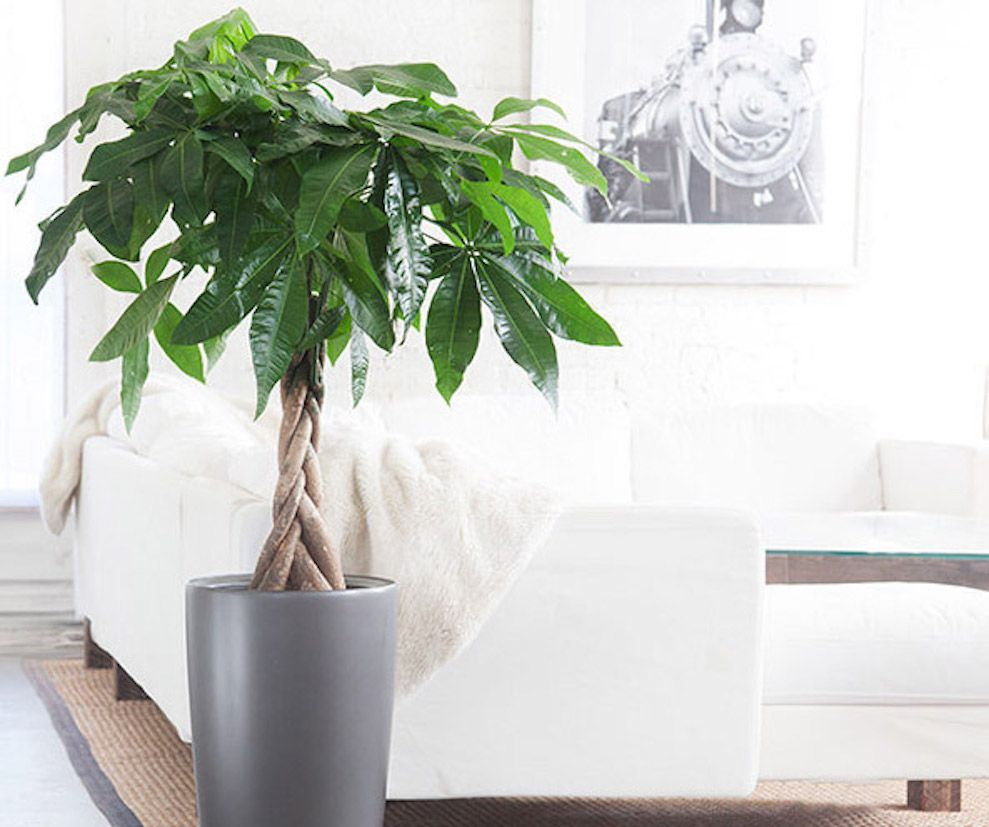 Tree Inside The House Interior Climate Controlled: Feng Shui Money Plant Fosters Prosperity