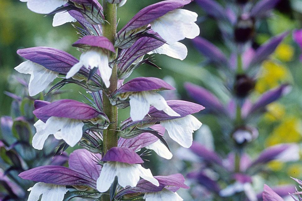 acanthus hungaricus syn. a. longifolius close up of flower, august