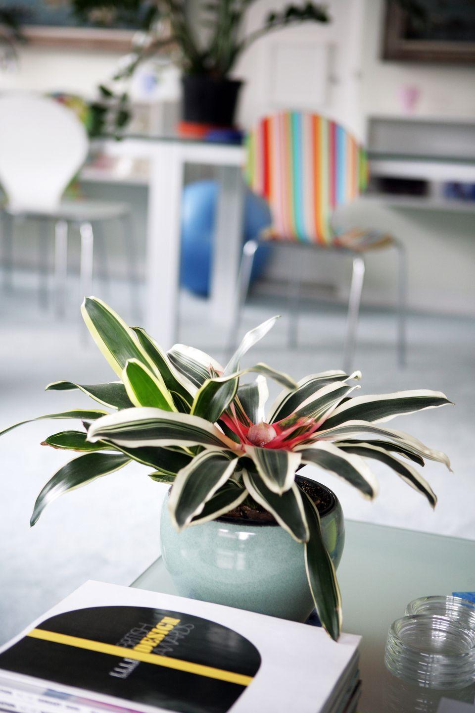 Indoor bromeliad plant