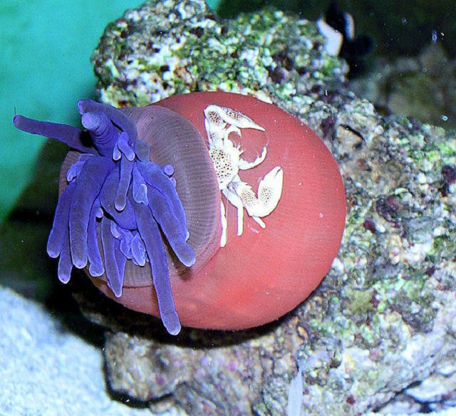 Condylactis Anemone & Porcelain Crab