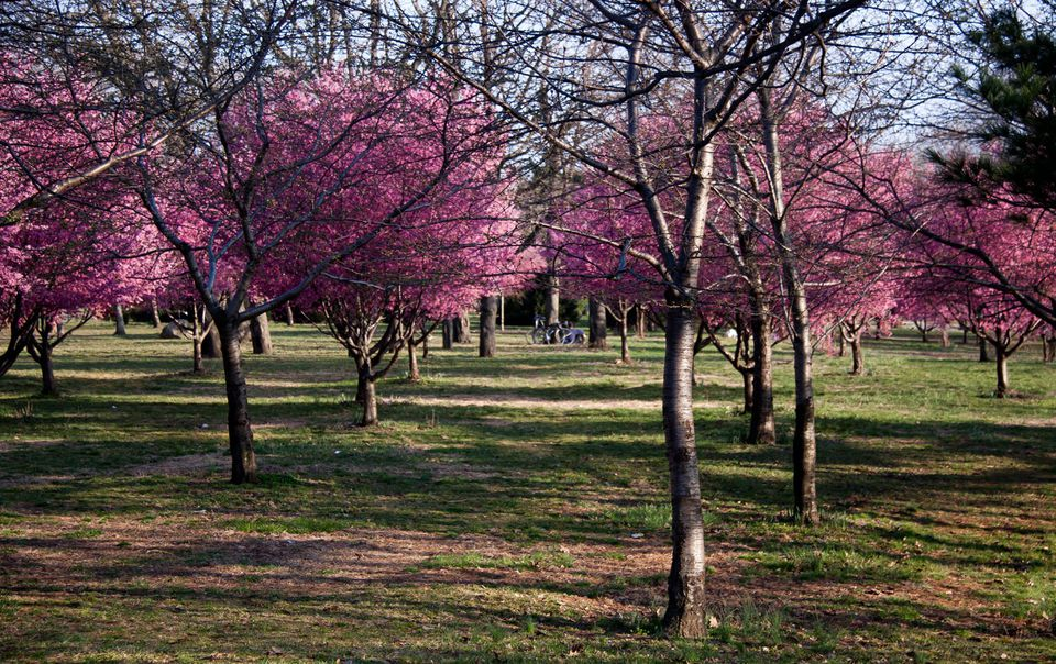 Blooming Pink Trees - Flushing Meadow Corona Park, Queens NYC