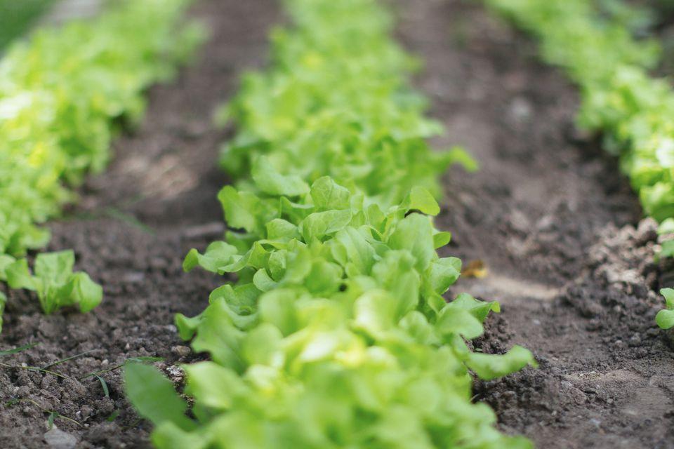 Farm field lettuce