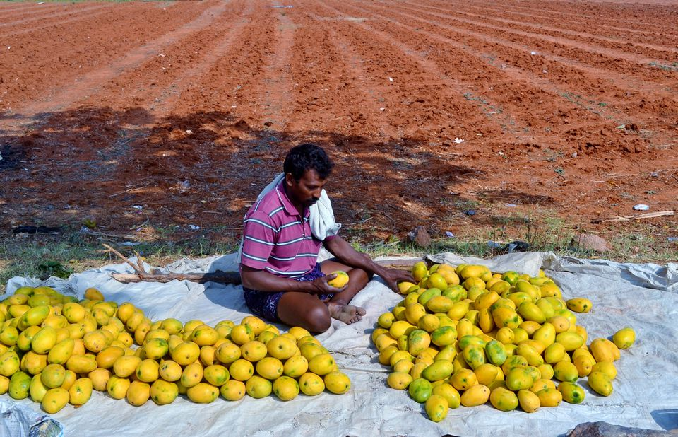 A Mango seller sorting mangoes in India.