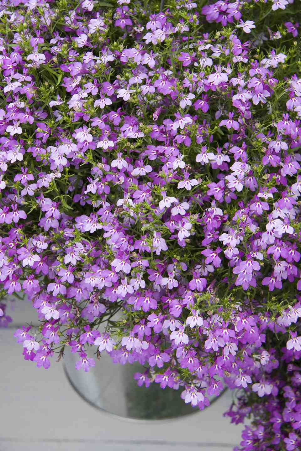Pictures of purple flowers picture of annual purple lobelia flowers izmirmasajfo Image collections