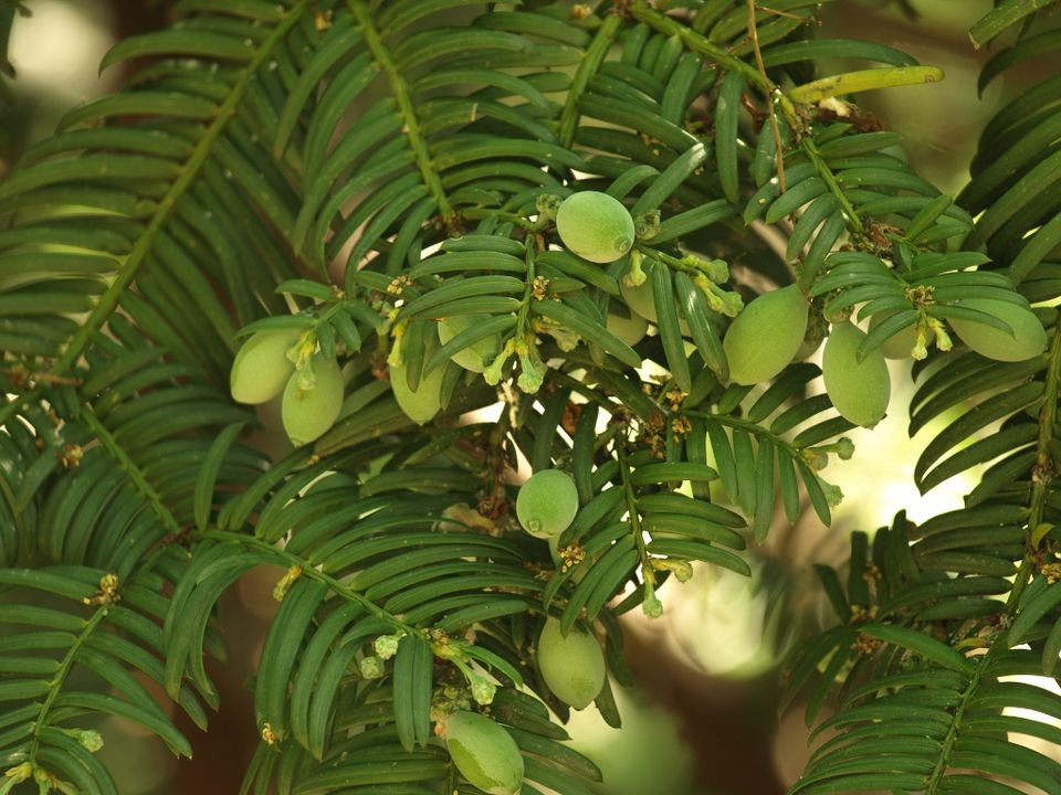 One evergreen shrub with edible fruit is the Japanese plum yew