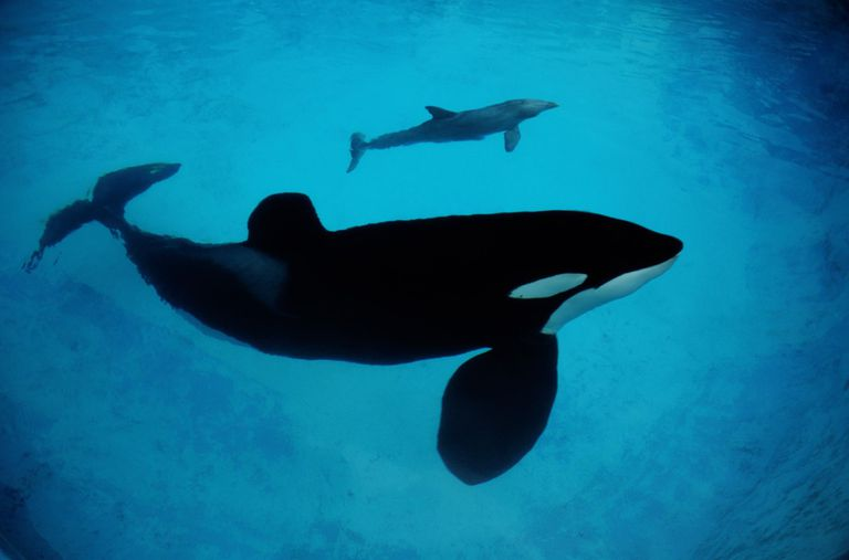 ORCA WHALE WITH DOLPHIN