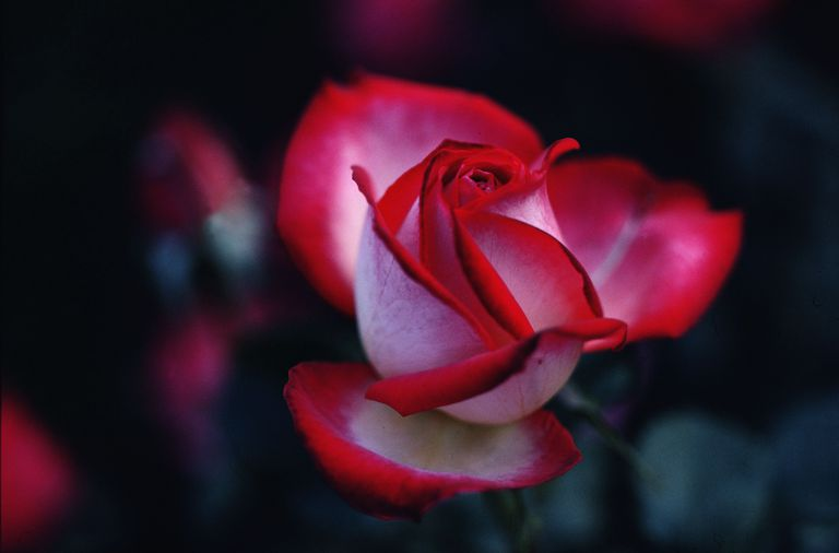 getty_two_toned_rose-3434260.jpg