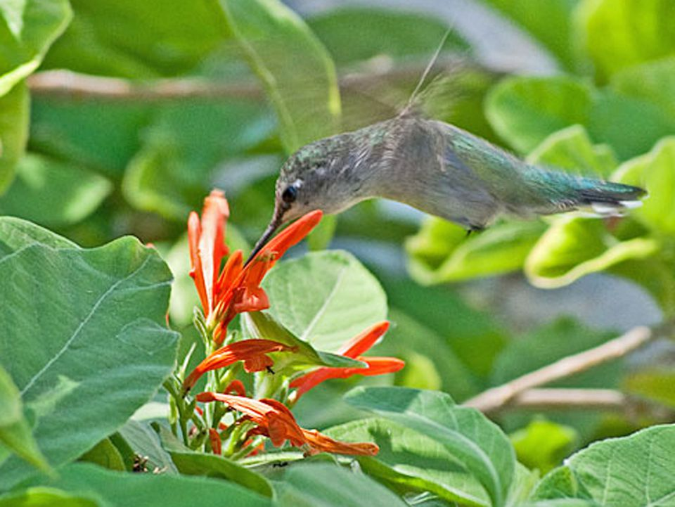 Flowers For Hanging Baskets That Attract Hummingbirds : Best plants to attract hummingbirds