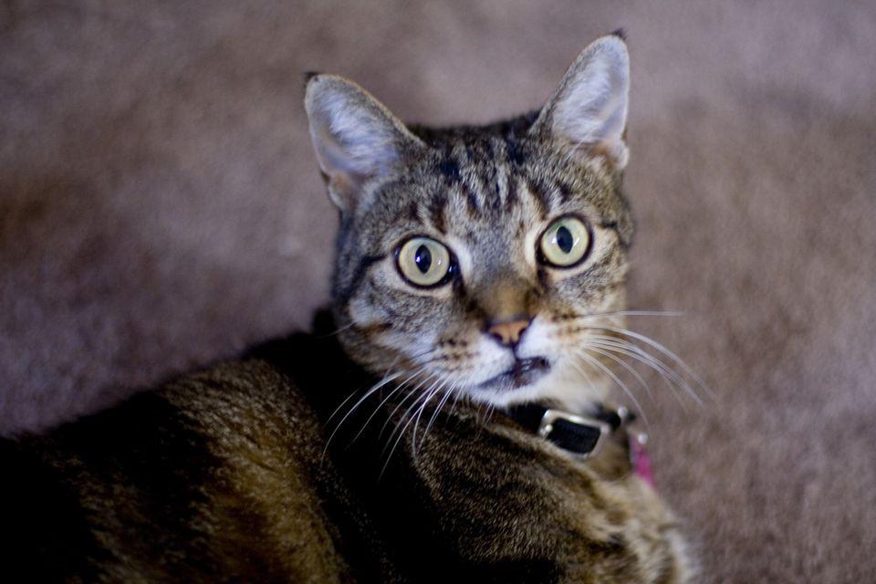 Cat sneering