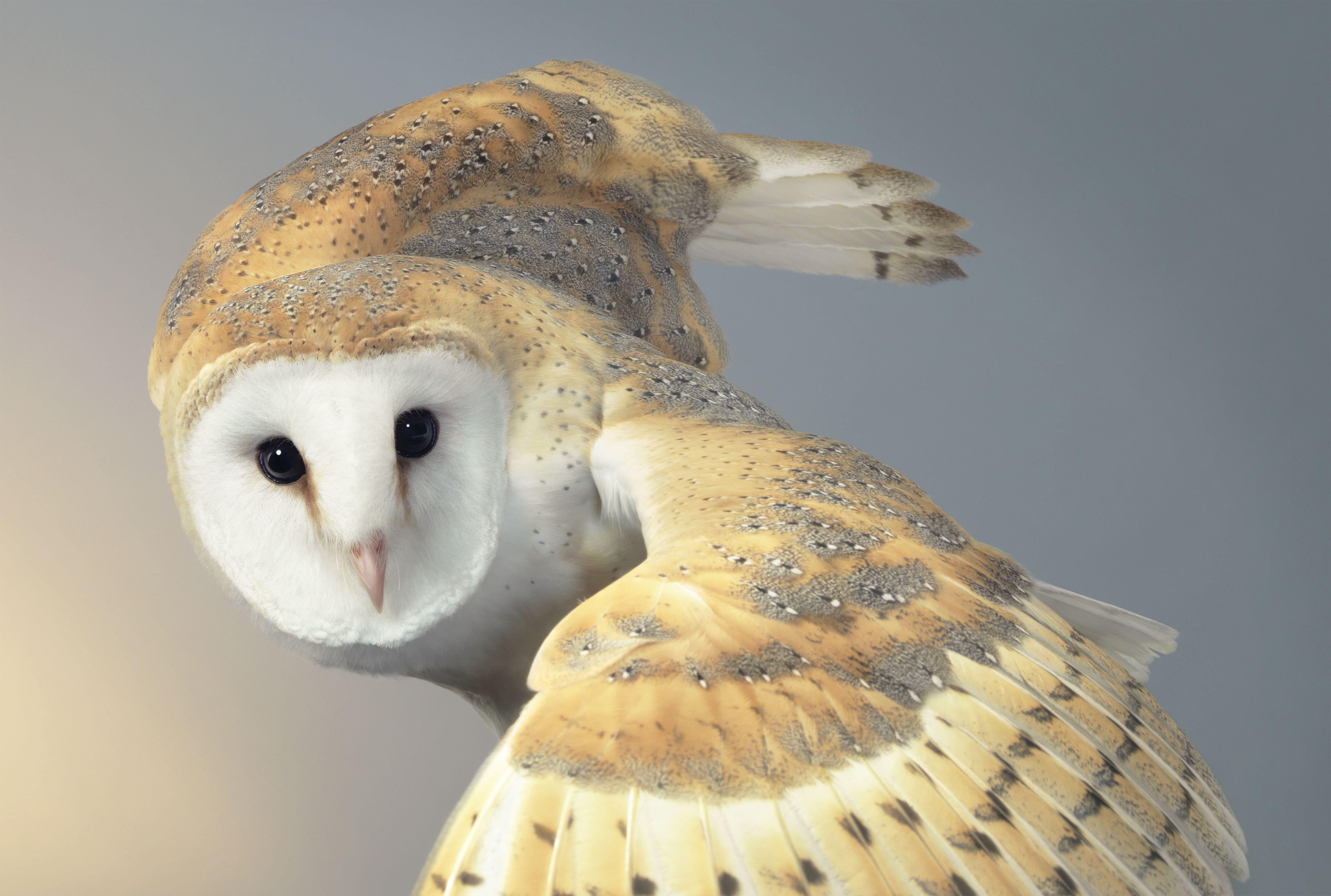 six reasons why you don u0027t want an owl as a pet bird