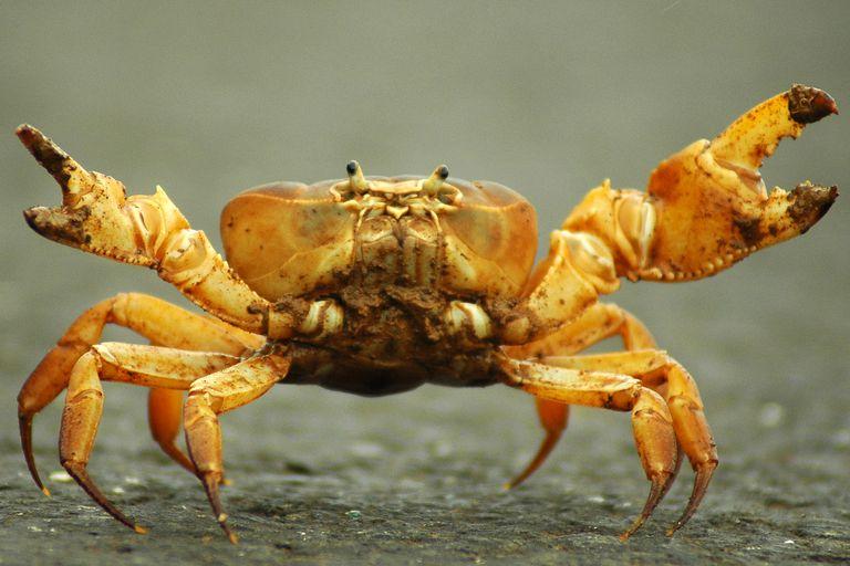 Crab - Brachyura