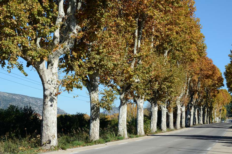 Avenue of Plane Trees in Provence