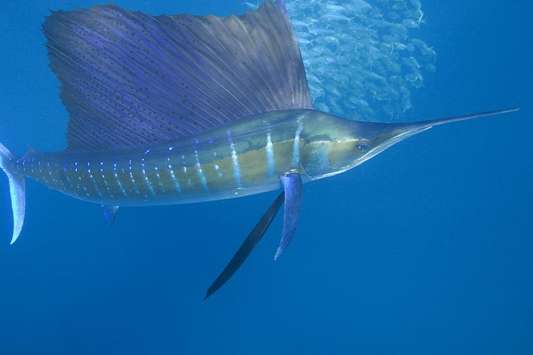 Atlantic sailfish, Mexico