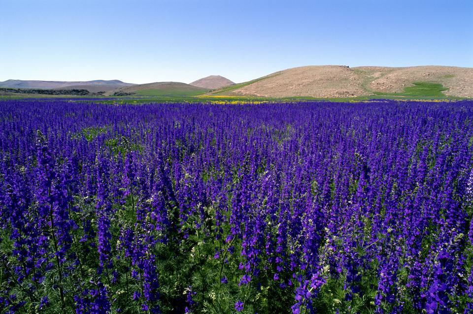 Common Types of Salvia Flowers (Annual and Perennial)