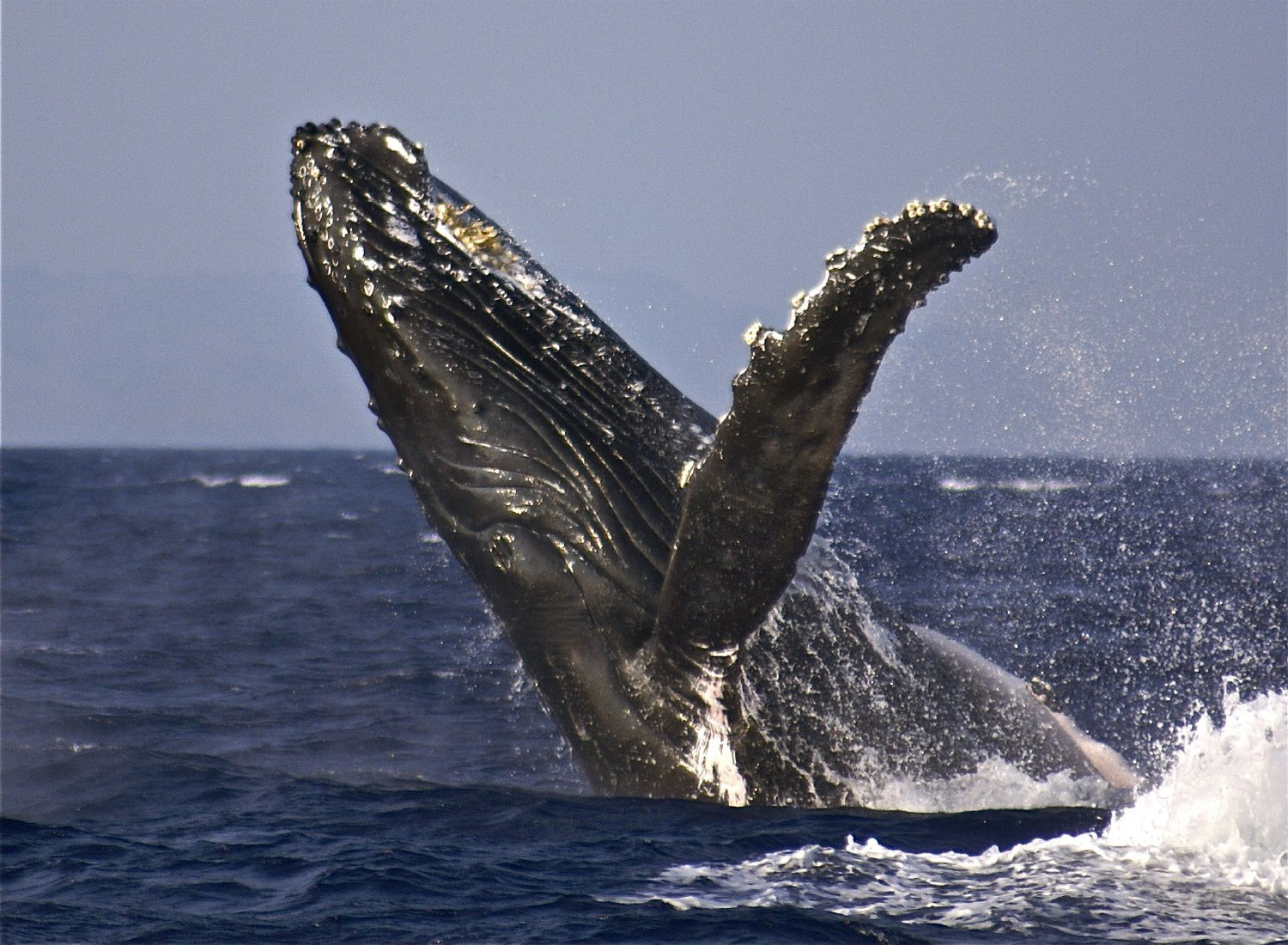 the humpback whales of hawaii