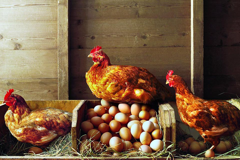 Chickens in a winter coop.