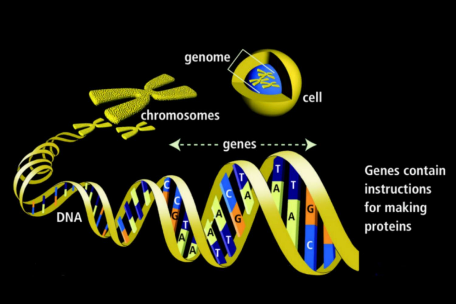Genes Definition Function And Mutations