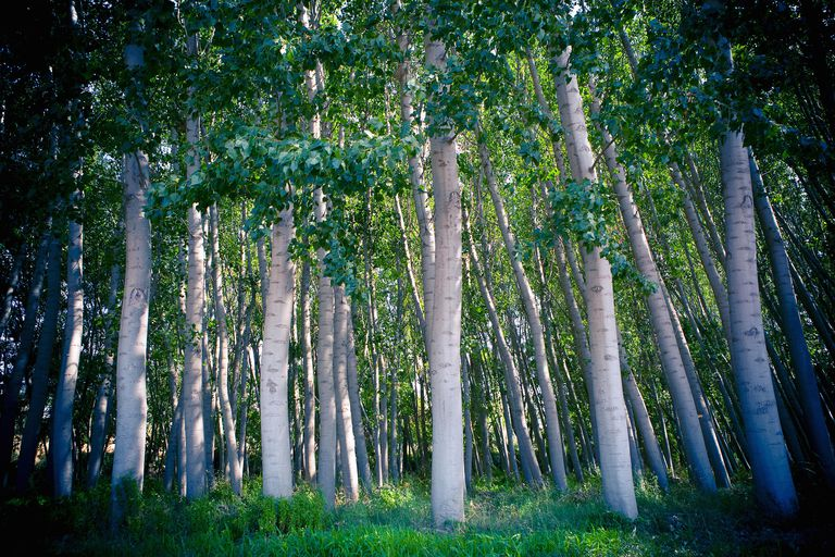 """The Soto surname derives from a Spanish word meaning """"grove"""" such as this grove of Silver Bark trees in Spain."""