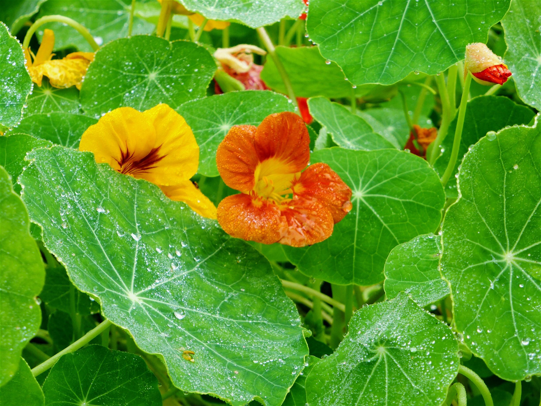 Buy culinary herbs plants nasturtium plants - Growing Nasturtiums Cool Season Flowers With Hot Season Flair