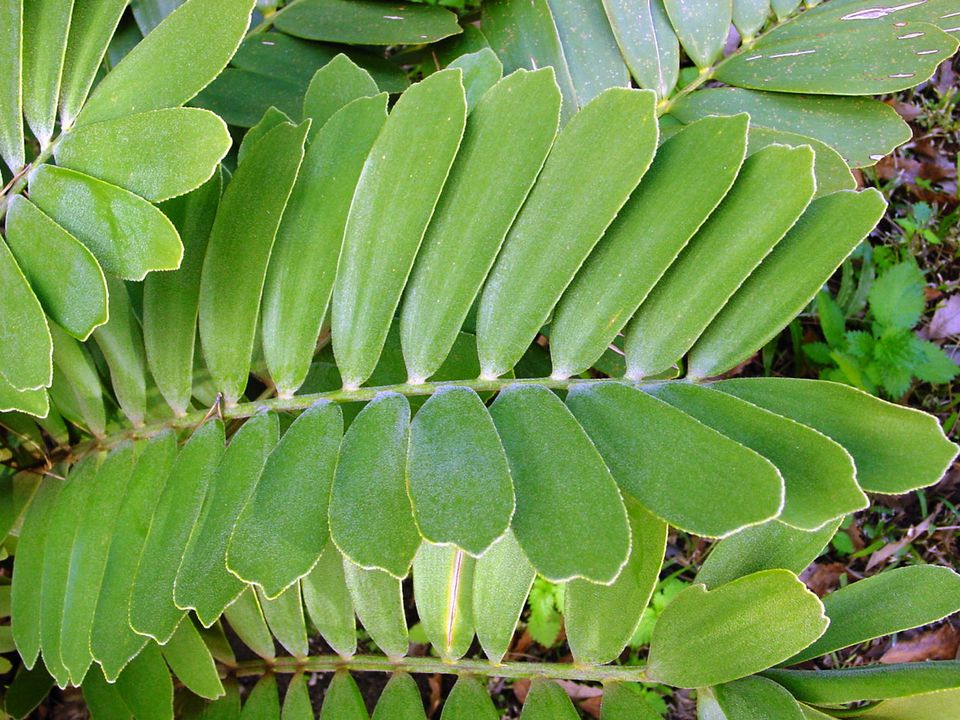 Zarnia plant